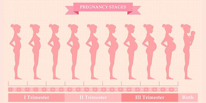 تغييرات جسم الحامل - الأسبوع 1 وحتى الأسبوع 42